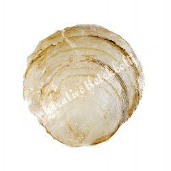 Kagylóhéj, fehér, 2 méret