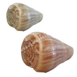 Kagyló, Blue valai poo, 2 méretben