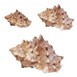 Kagyló, Natural, 3 méretben