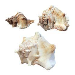 Kagyló, White Mulli, 3 méretben
